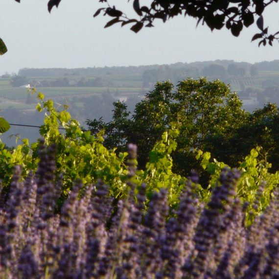 Lavender hedge and view across the Dordogne valley