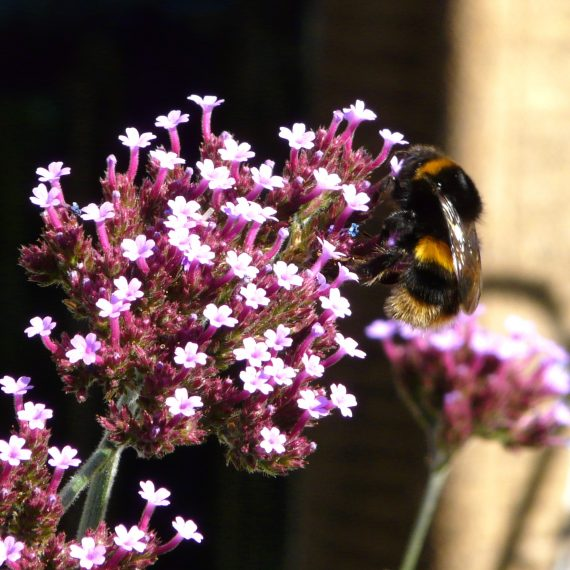 Bumble bee on Verbena bonariensis