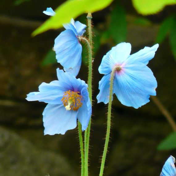 Meconopsis in Kate Atkinson's garden