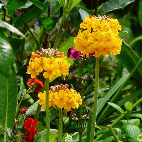 Candelabra primulas in Kate Atkinson's garden