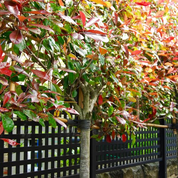 Pleached Photinias and black square trellis, garden designed by Carolyn Grohmann