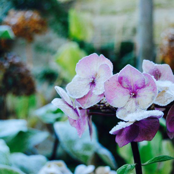 Morningside garden, frosted Hellebores, garden design by Carolyn Grohmann, Secret Gardens