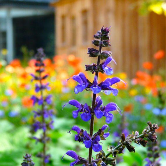 Salvia nemerosa Caradonna, garden designed by Carolyn Grohmann