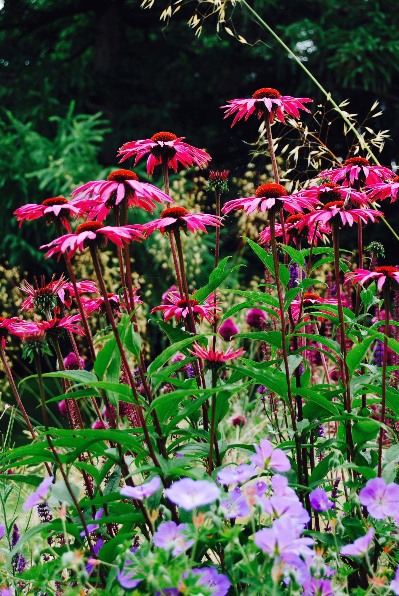 Echinacea Rubinstern and mixed herbaceous planting using long flowering species and packed with colour, designed by Carolyn Grohmann