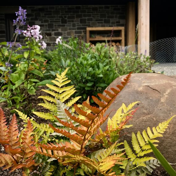 Dryopteris erythrosora at the front door. Designed by Carolyn Grohmann